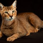 Chausie Cat Names – Over 150 of the Coolest and Cutest Choices