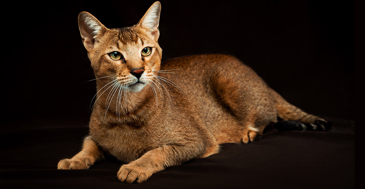chausie cat names