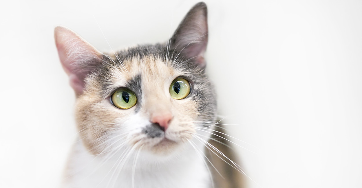 https://www.thehappycatsite.com/wp-content/uploads/2018/03/dilute-calico-header.jpg