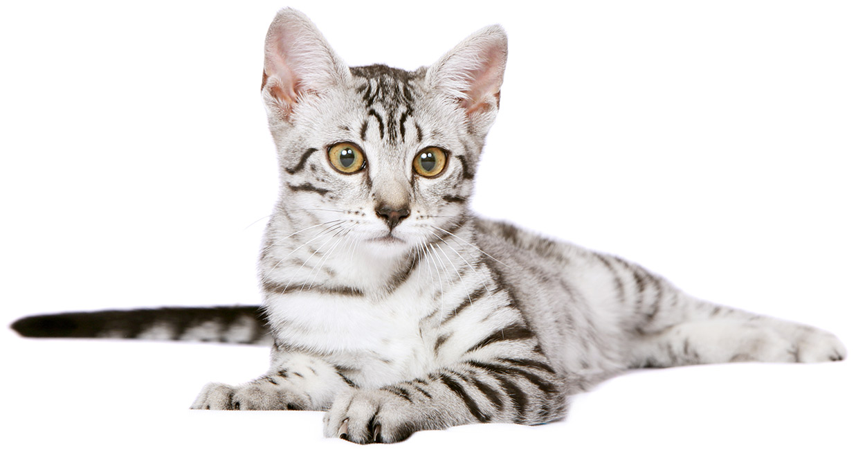 Egyptian Mau Cat Kitten