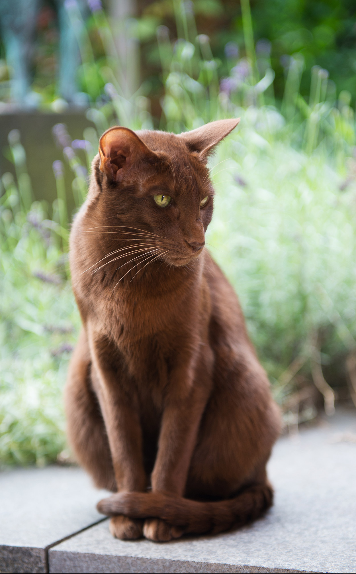 Havana Brown Cat - Your Complete Guide To The Rare Havana ...