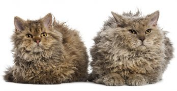 Selkirk Rex – The Woolly Cat Breed