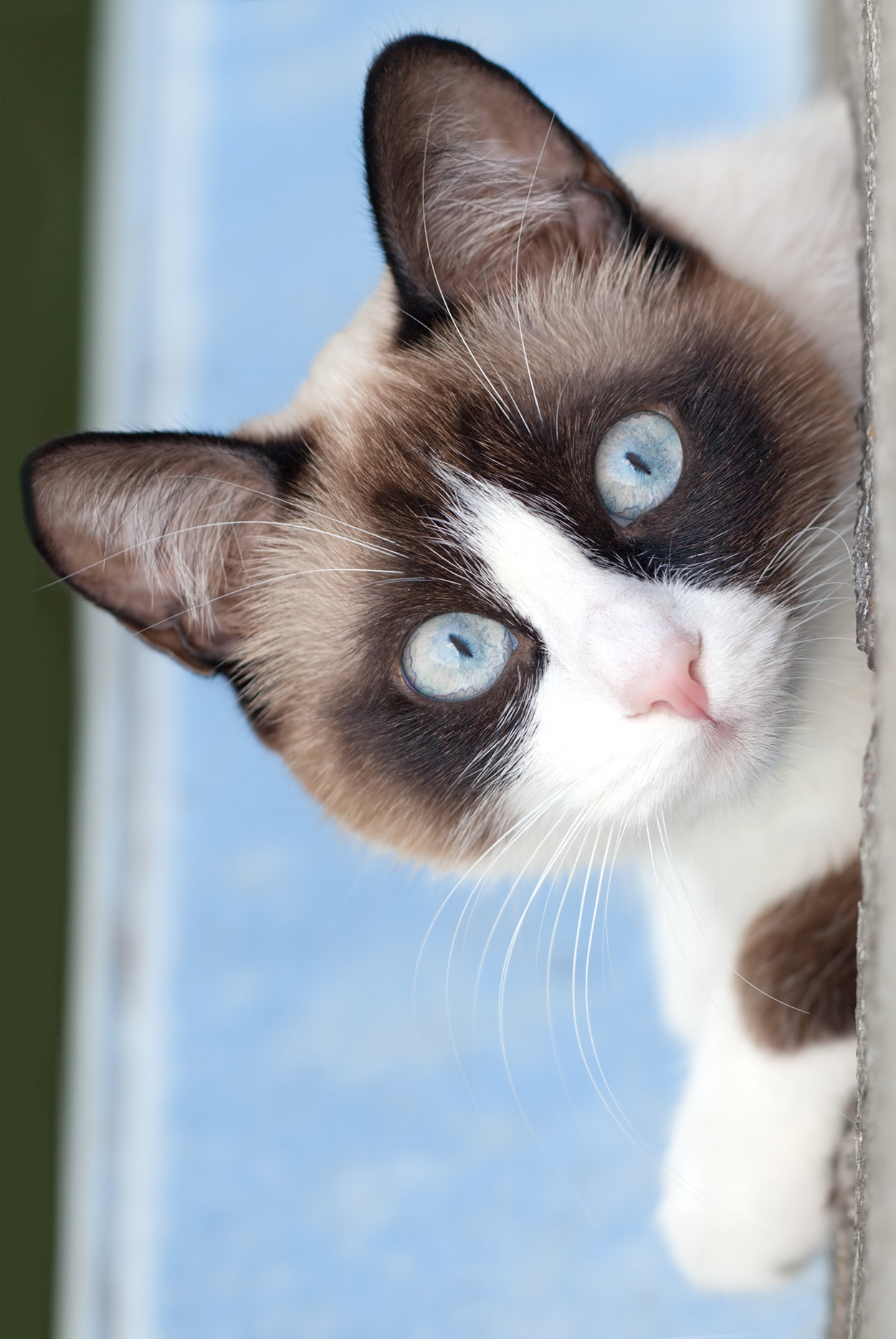 Snowshoe Cat - Our Definitive Guide