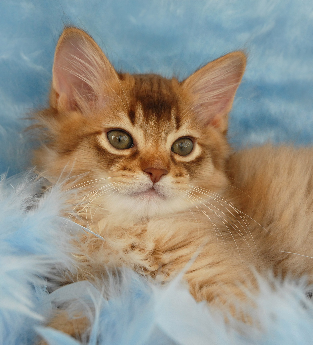 Somali Cat Name - Stunning Names for Striking Cats!