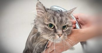Why Don't Cats Like Water?