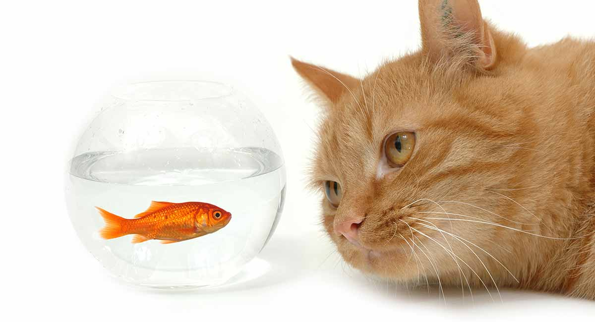 fish oil for cats