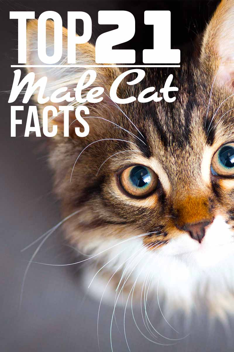 Top 21 male cat facts - Fun cat facts from The Happy Cat Site.