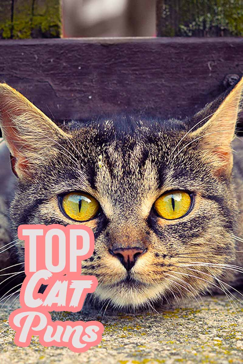 Top Cat Puns - List of the funniest cat related puns from The Happy Cat Site.
