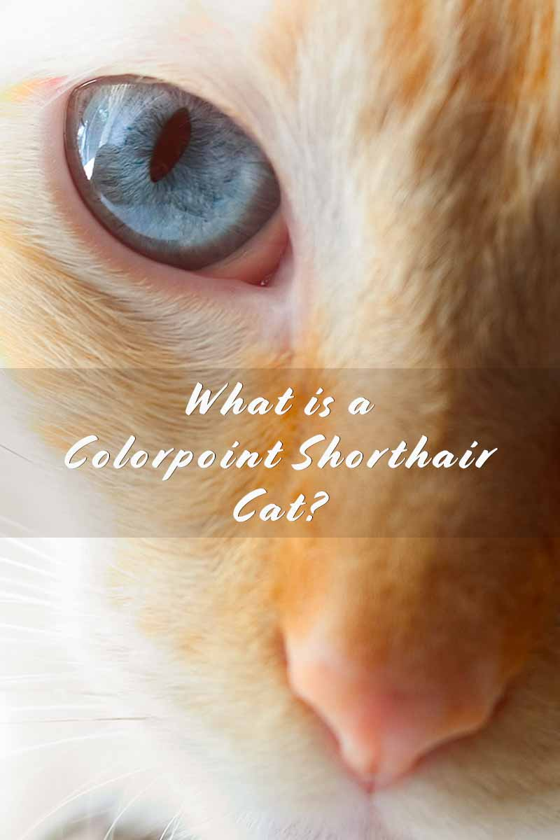 What is a Colorpoint Shorthair Cat? - Cat breed review.