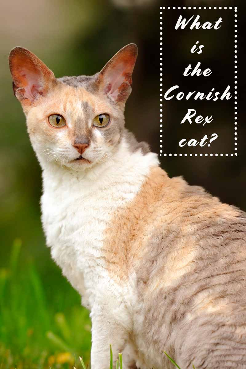 What is the Cornish Rex Cat? - Cat breed review.