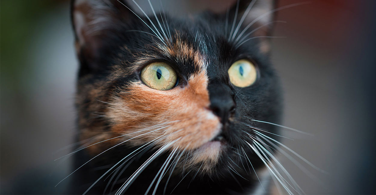 Chimera Cat The Fascinating Two Faced Cat