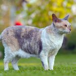 Cornish Rex – A Curly Coated Cat!