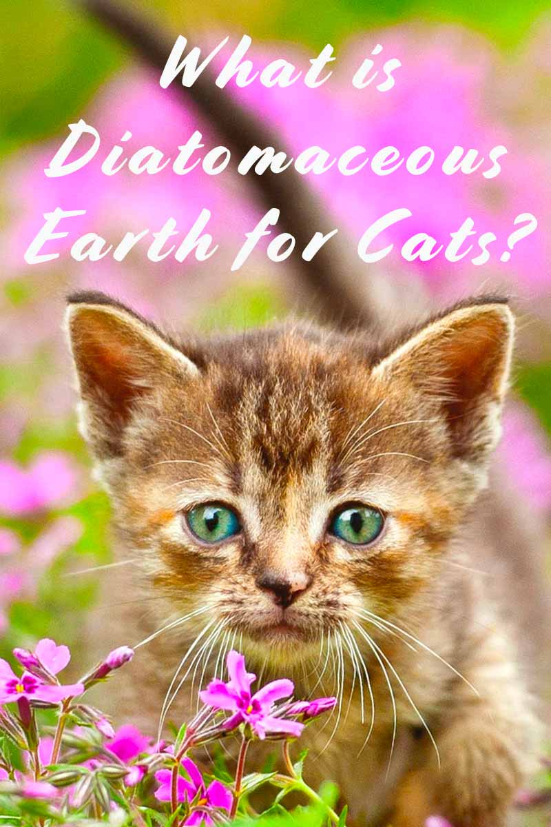 What is Diatomaceous Earth for Cats? - Cat health and care advice.