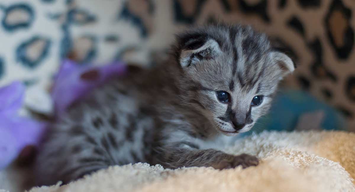 Hybrid Cats - Are Mixed Breed Cats The Future?