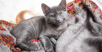 Russian Blue Kittens: Finding A Cat and Your First Days Together