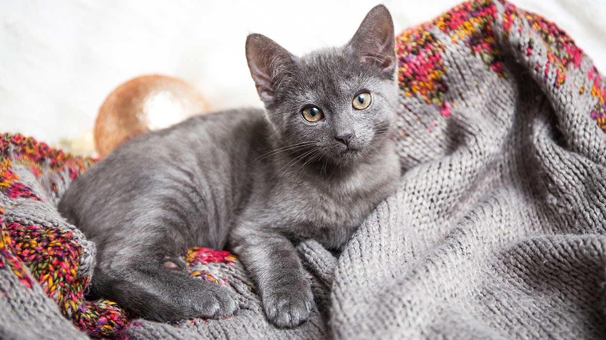 Adoption Location Cat Purebred Rescue doesnt have a shelter location because most of our cats are in foster homes