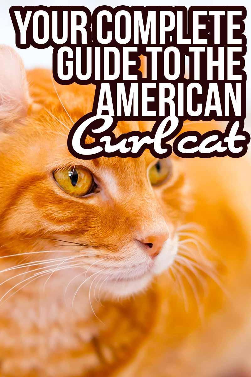 your complete guide to the American Curl Cat - Cat breed reviews from The Happy Cat Site.