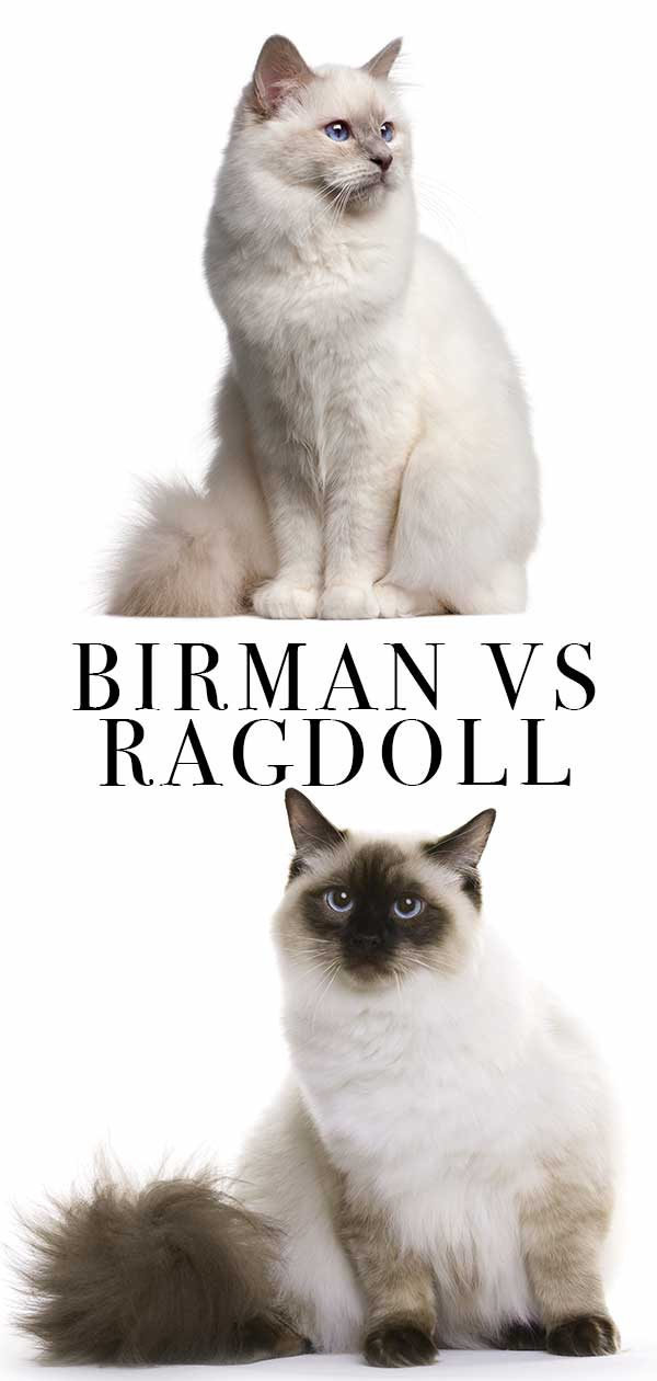 Birman vs Ragdoll Cats – How To Tell Them Apart