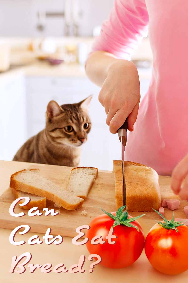 Can Cats Eat Bread? - Health and care advice from the Happy Cat Site.