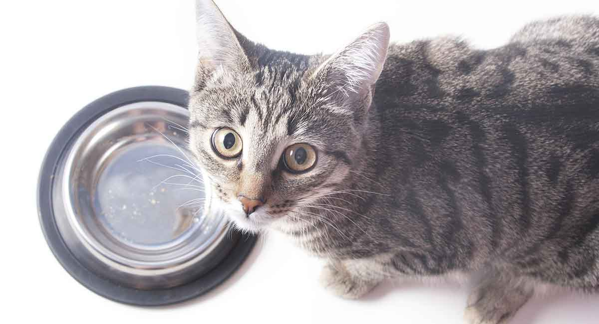 Fatten Up A Cat That Needs To Gain Weight