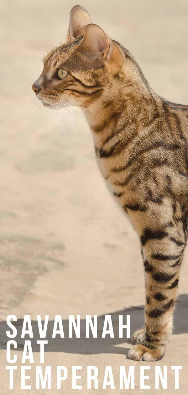 Savannah Cat Temperament - Predicting Their Personality