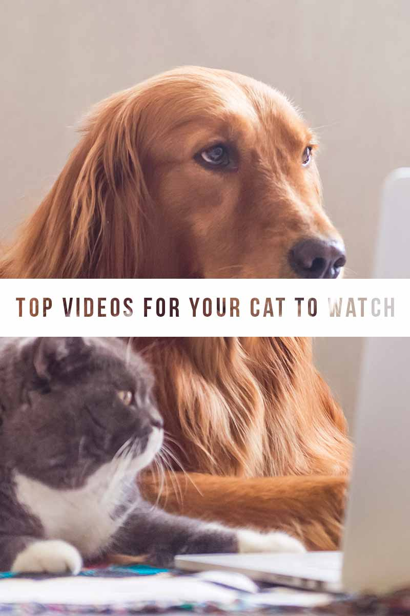 Top videos for your cat to watch - keeping your indoor cat happy.