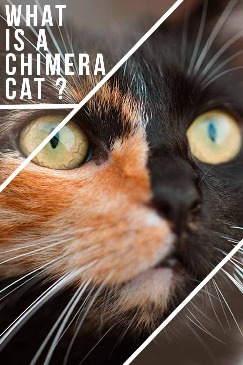 What is a Chimera Cat? - Fun facts about cats.
