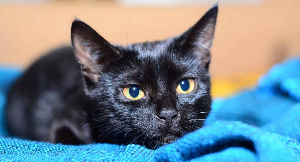 Are Bombay cats hypoallergenic?
