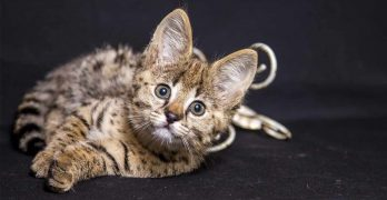 are savannah cats good pets