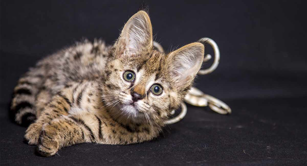 Are Savannah Cats Good Pets? We Help You Decide