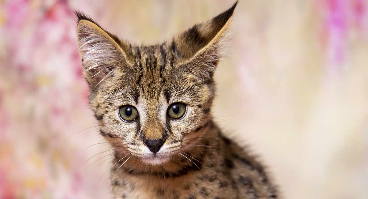Best Litter Boxes For Savannah Cats - 14 Spacious Solutions
