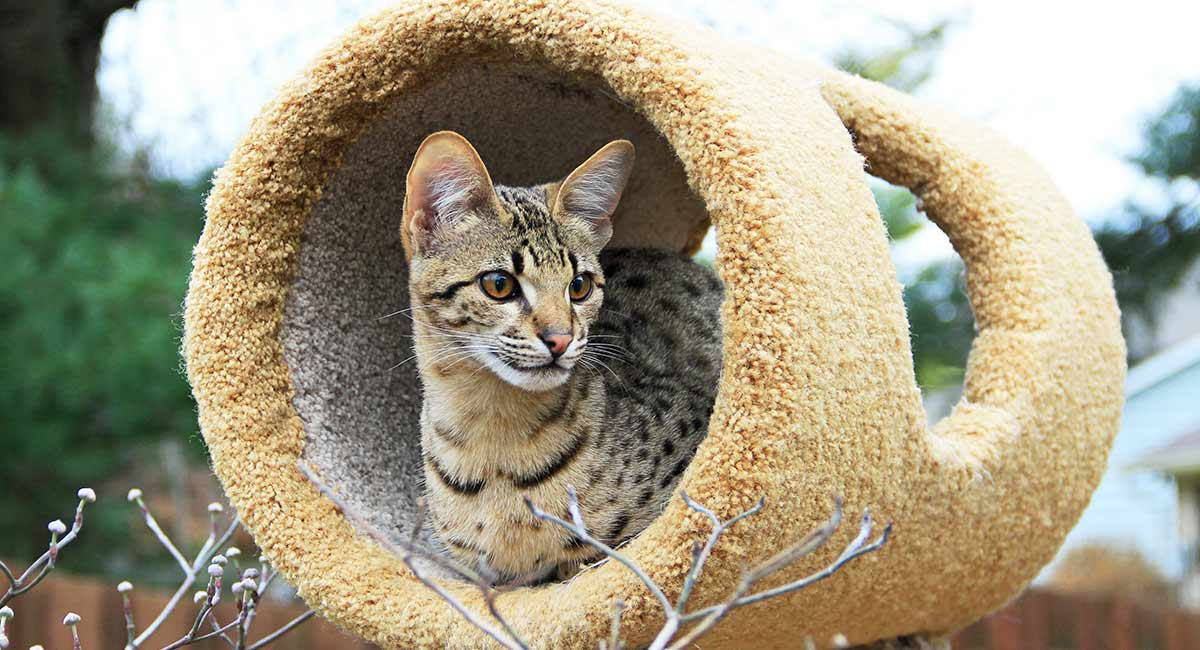best savannah cat toys