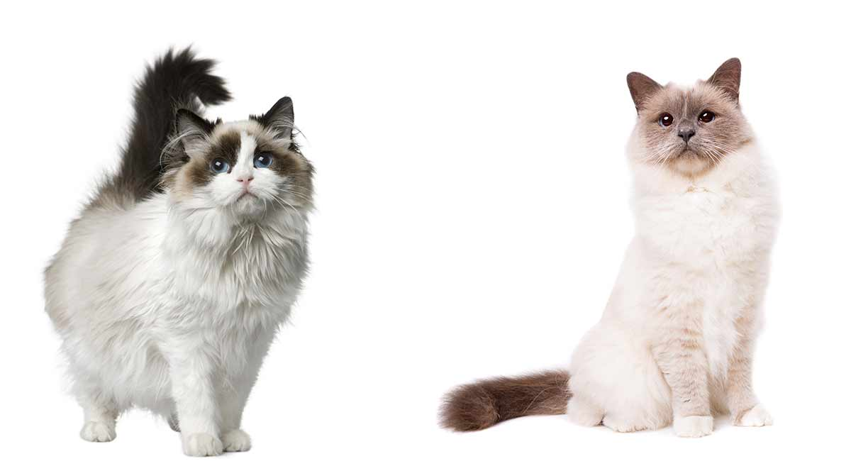 birman vs ragdoll