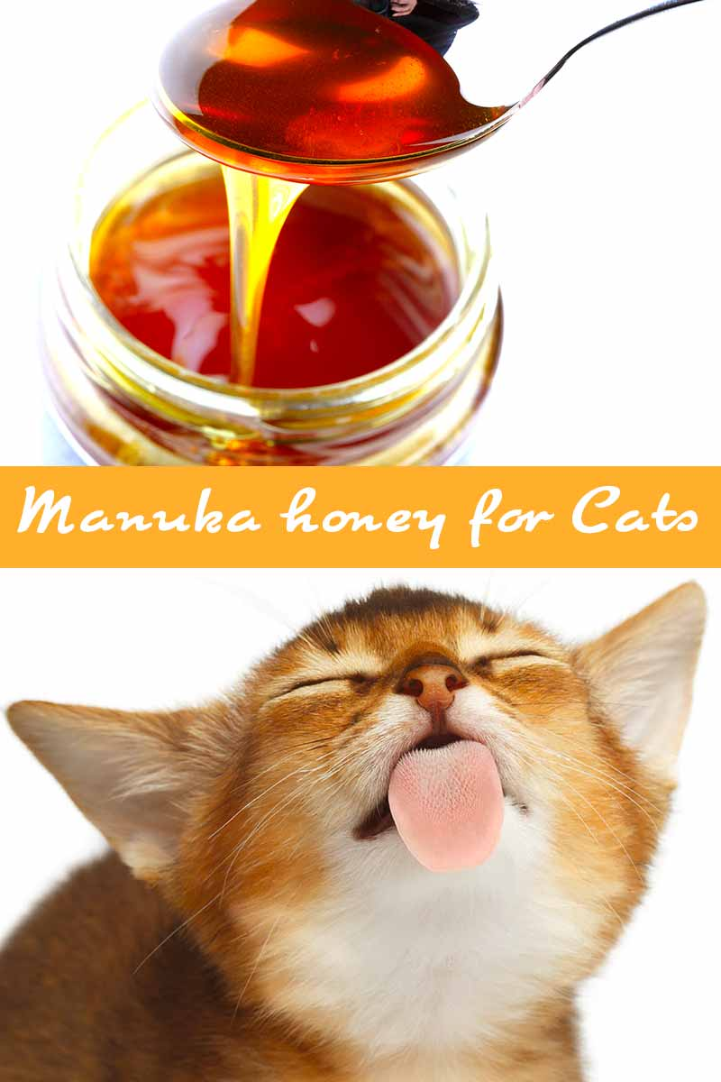 Manuka honey for Cats - Health and feeding advice for your cat.