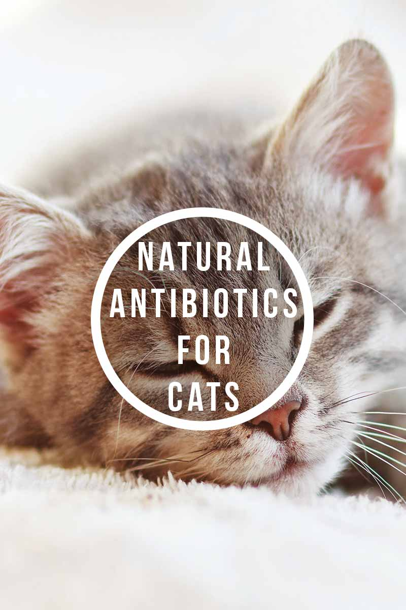 Natural antibiotics for cats - Health and care advice for your cat.