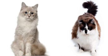Ragdoll vs Ragamuffin – How To Spot The Differences!