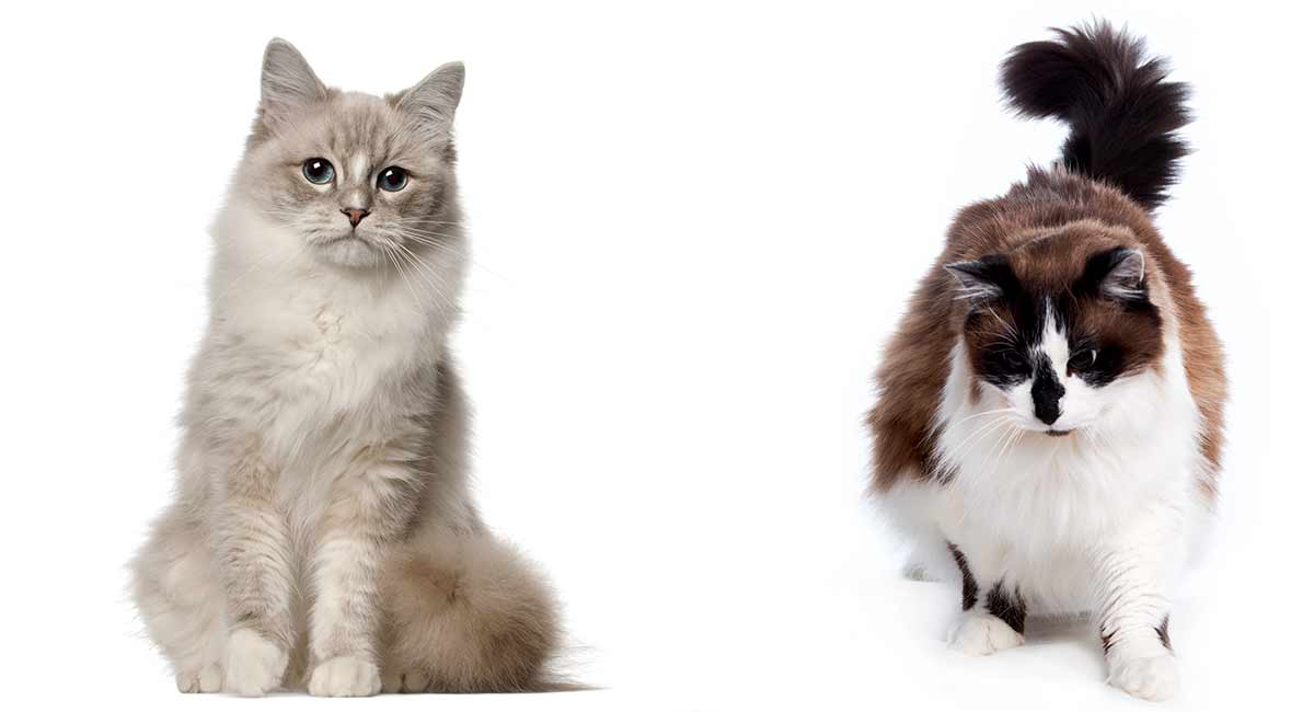 Ragdoll vs Ragamuffin - Which is The Right Cat For You?