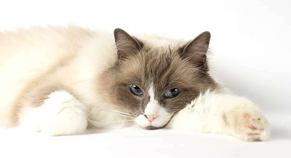 Ragdoll Cat Temperament Everything You Need To Know