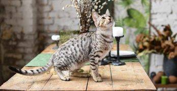 savannah cat temperament