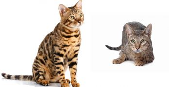 savannah cat vs bengal