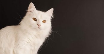Turkish Angora Cat – A Pale Beauty