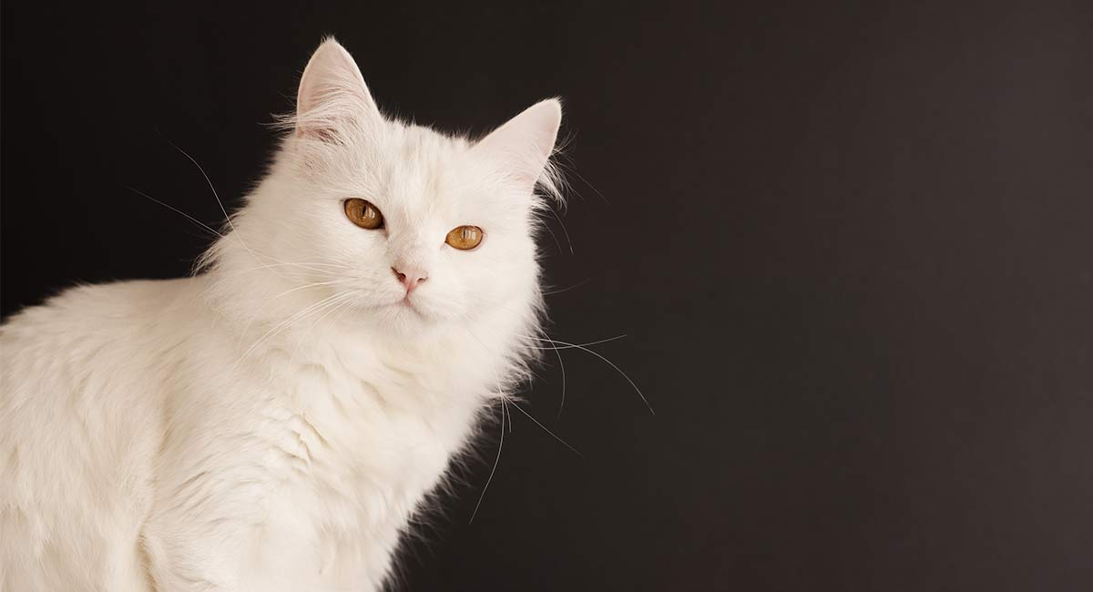 2a0edd2616 Turkish Angora Cat - Our Complete Breed Guide