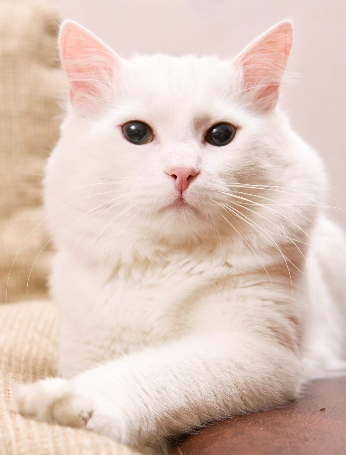 eedab31d63b0b2 Turkish Angora Cat - Our Complete Breed Guide