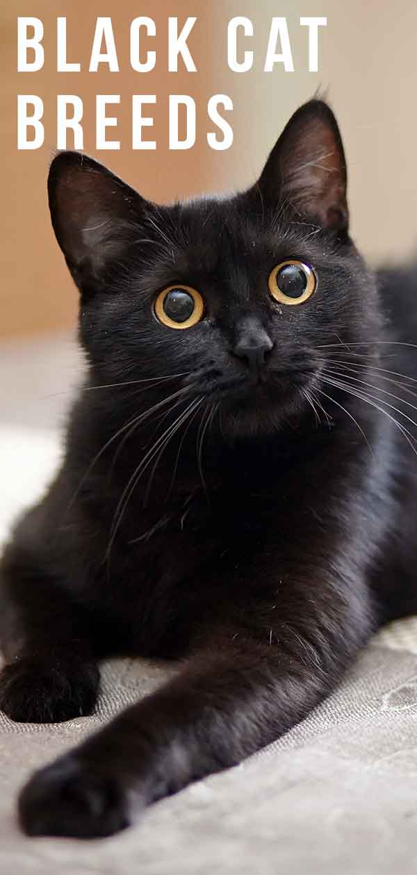 Black Cat Breeds - Which Ones Make The Best Pets