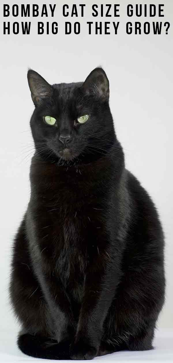 Bombay Cat Size Guide - How Big Do They Grow?