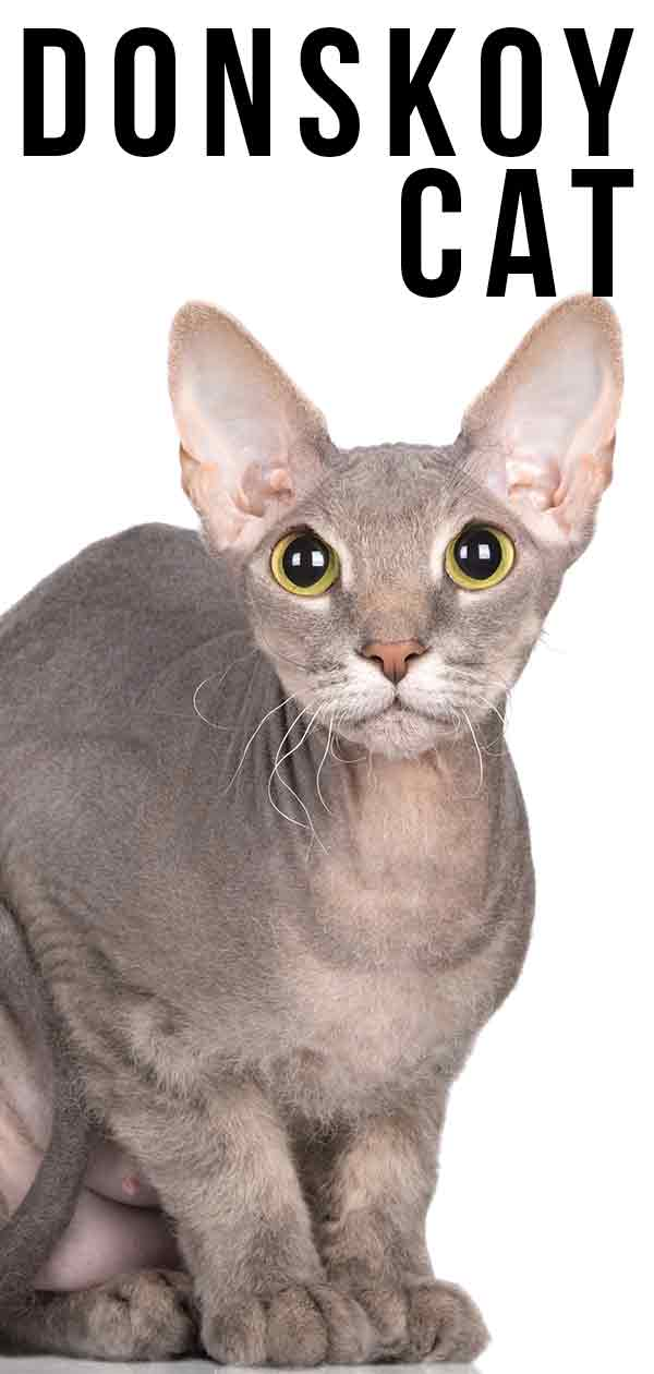 Donskoy Cat - The Fascinating Hairless Cat Breed