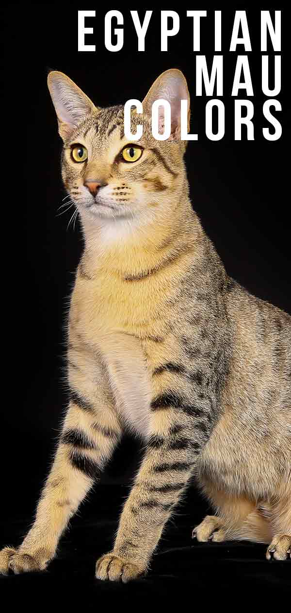 Egyptian Mau Colors - From Silver To Bronze, The Patterns and Shades