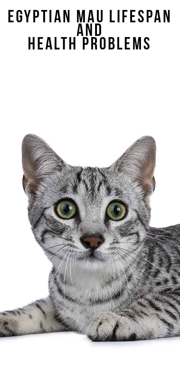 Egyptian Mau Lifespan And Health Problems tall