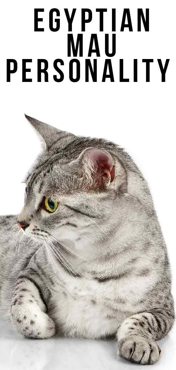 Egyptian Mau Personality - What Are Their Kitty Temperament Traits?