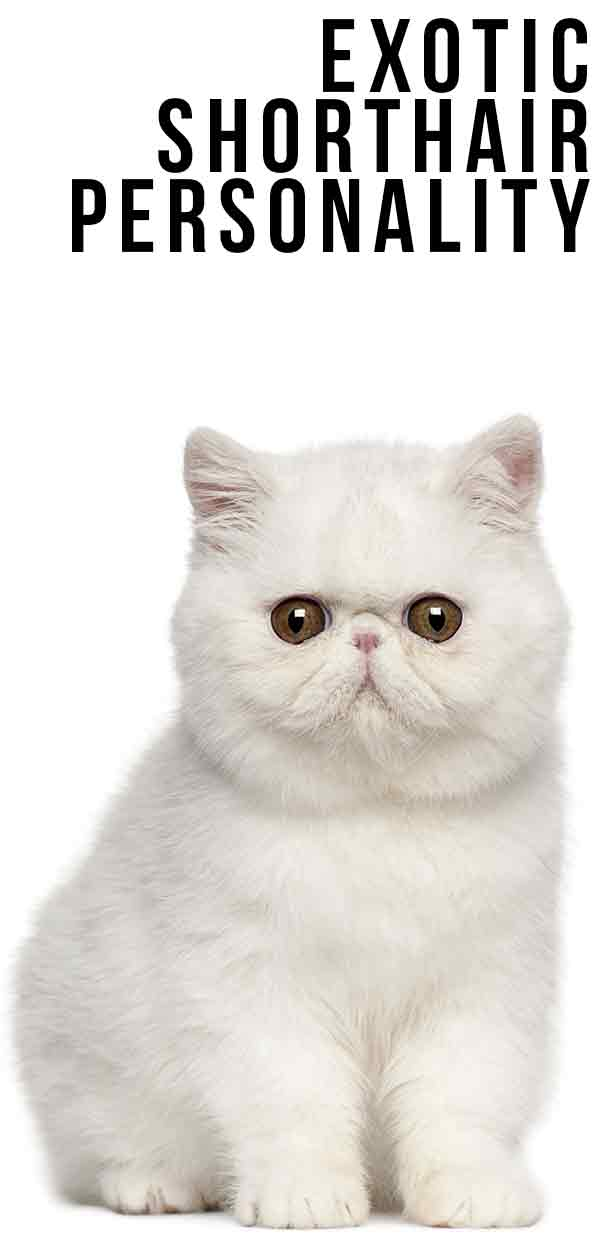 Exotic Shorthair Personality - Are They As Grumpy As They Look?